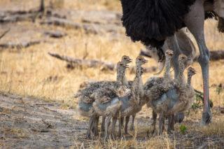 Ostrich chicks stick close to dad in Hwange National Park, Zimbabwe © Rachel Price
