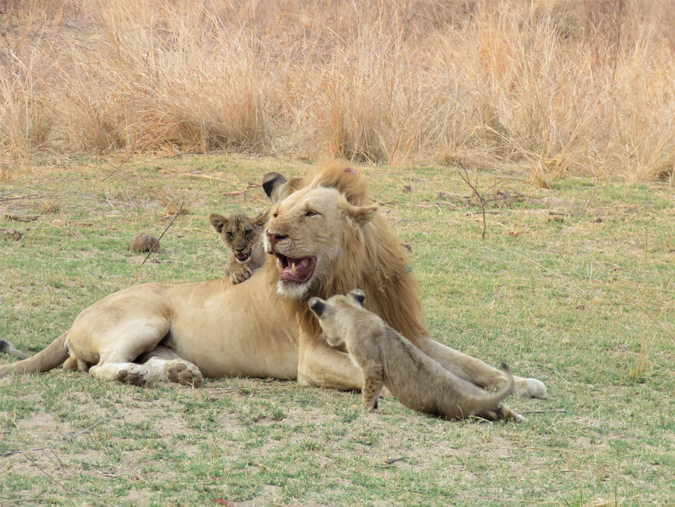 Lion cubs playing with their dad