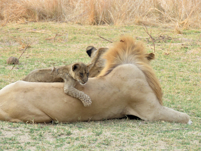 A lion cub hangs out on his dad's back in South Luangwa