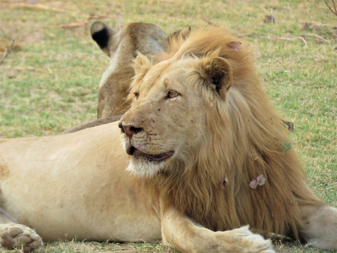 Pale male lion in South Laungwa National Park