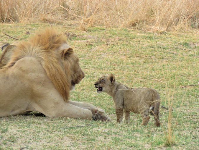 Lion cub with adult male lion in South Luangwa