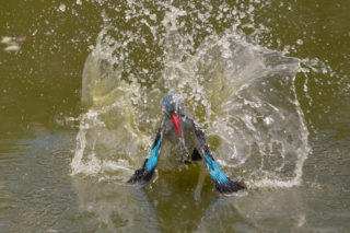 A woodland kingfisher takes a bath in Makutsi Safari Springs, Hoedspruit, South Africa © Urs Niklaus