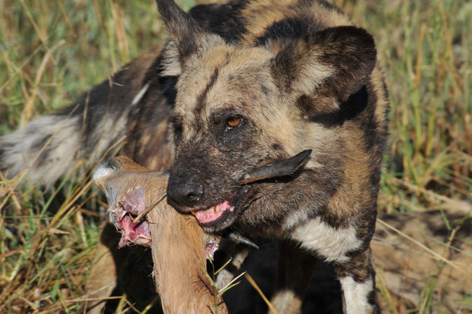 African wild dog with prey