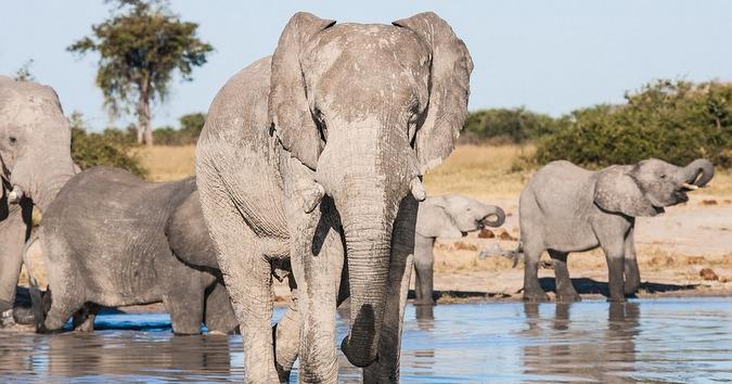 Elephants drinking at waterhole in Chobe