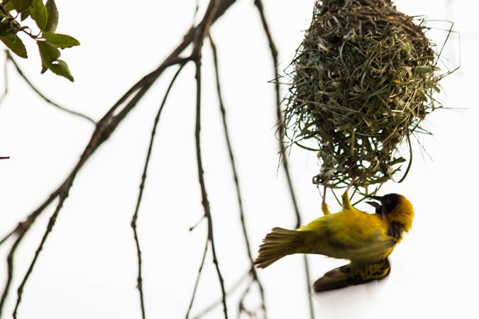 Weaver bird in Murchison Falls National Park in Uganda