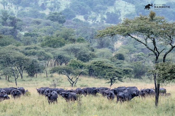 Herd of buffalo in Akagera National Park, Rwanda