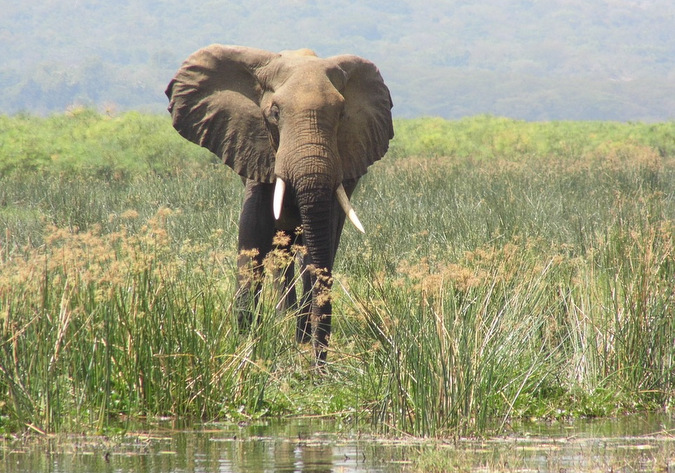 Elephant at Murchison Falls National Park in Uganda