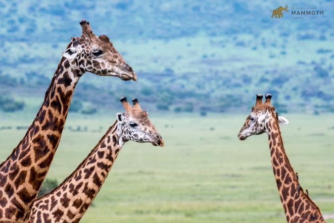 Giraffes, Akagera National Park, Rwanda