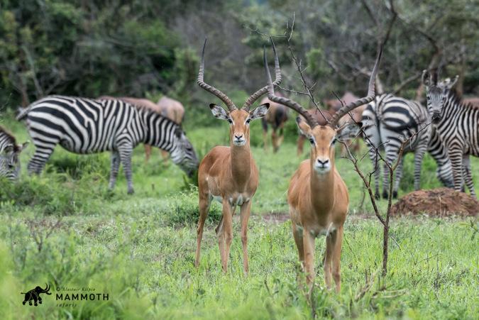 Impala and zebra graze in Akagera National Park, Rwanda