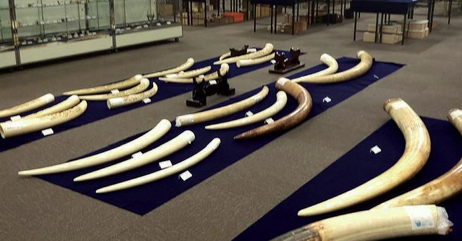 Raw ivory displayed at a preview of a physical auction house © TRAFFIC