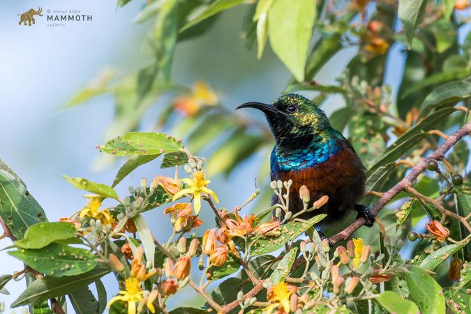 Marico sunbird, bird, Akagera, Rwanda