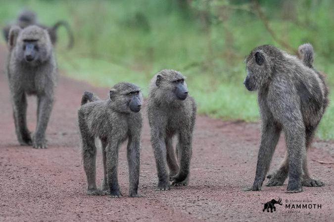 Olive baboons in Akagera National Park, Rwanda