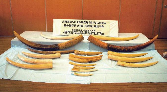 Seized elephant ivory