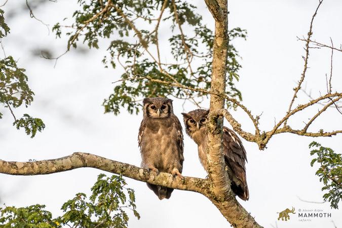 Verreaux's eagle-owl in Akagera National Park, Rwanda