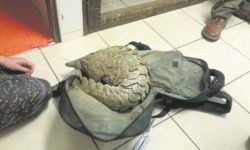 Pangolin found in man's backpack
