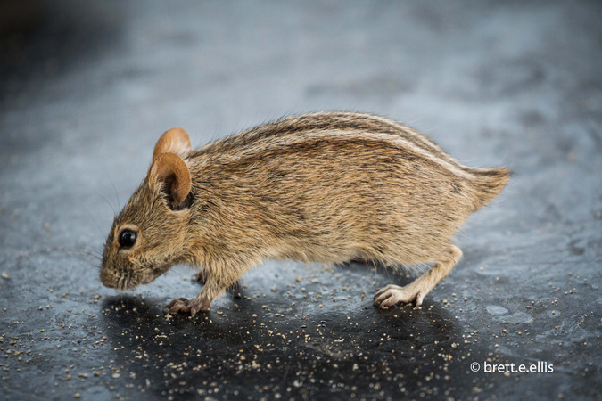 Tailless wild mouse in Kgaligadi Transfrontier Park in South Africa