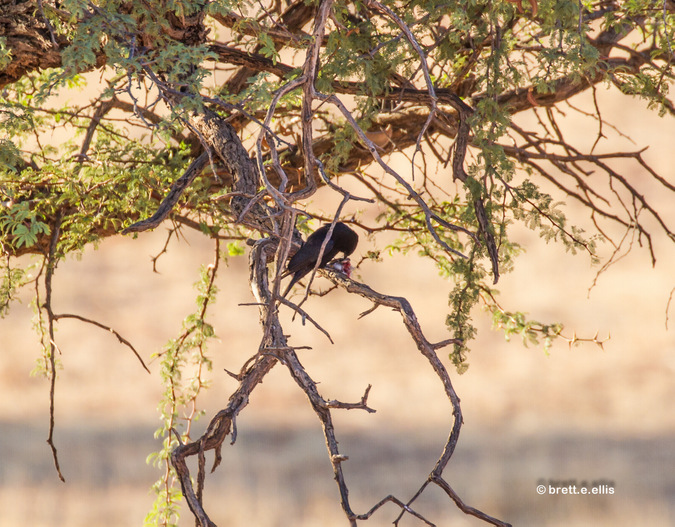 Fork-tailed drongo eating prey in Kgaligadi Transfrontier Park in South Africa