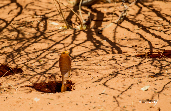 Cape cobra inspecting mouse burrows in Kgaligadi Transfrontier Park in South Africa