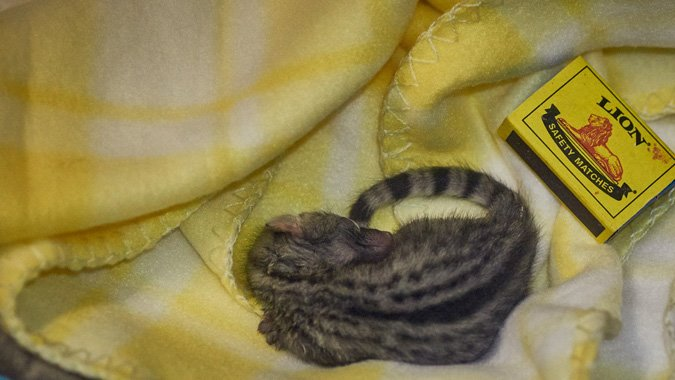 a day old genet