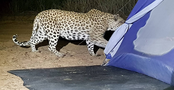 Leopard in camp site
