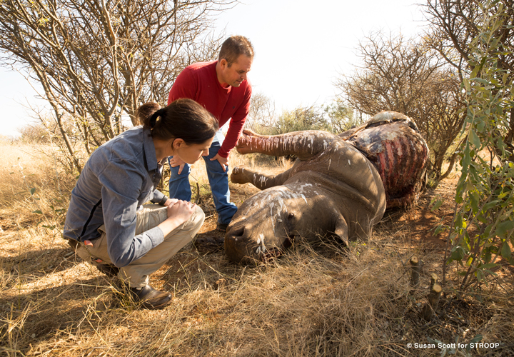 Rhino poaching carcass