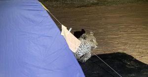 Leopard in camp site