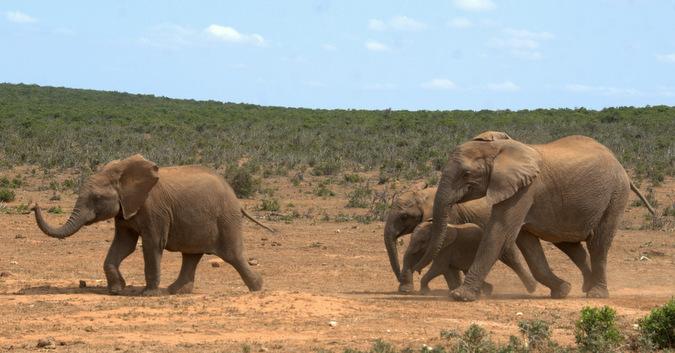 Elephants running to a waterhole