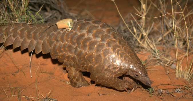 Ground pangolin with tracker attached in Kalahari, South Africa