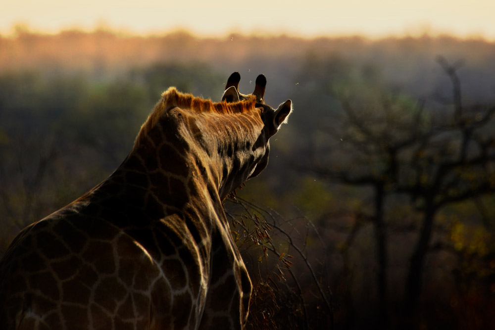 Giraffe from behind in Kruger National Park, South Africa