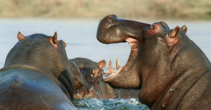 African hippos in the water