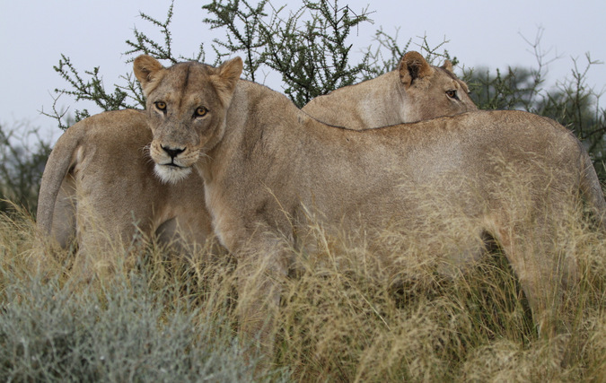 Two African lions in the Kgalagadi Transfrontier Park in South Africa