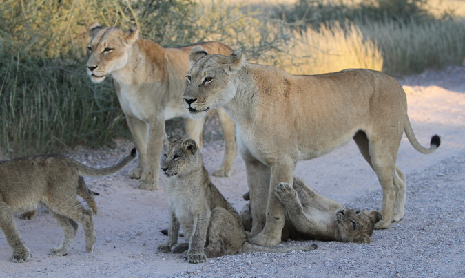 African lions and cubs at Kgalagadi Transfrontier Park in South Africa
