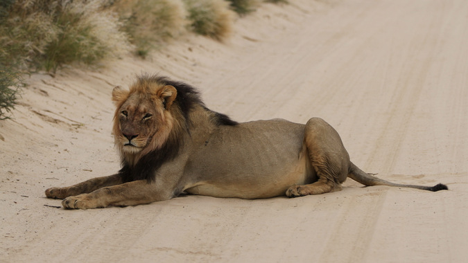 A large African lion in Kgalagadi Transfrontier Park in South Africa