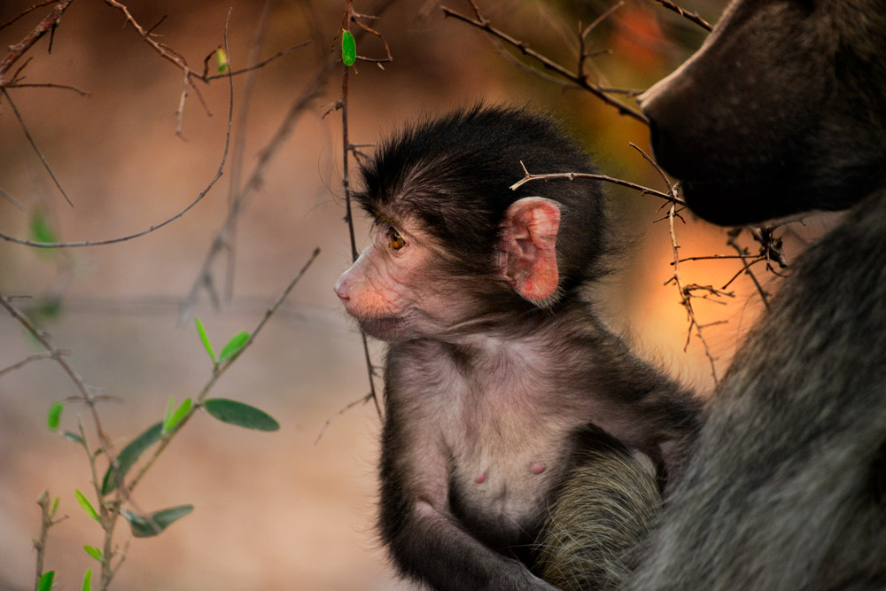 Baby chacma baboon with mother in Kruger National Park, South Africa
