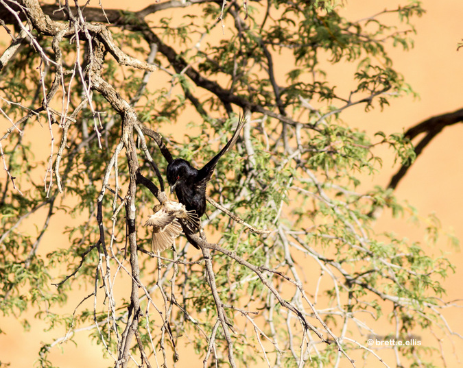 Fork-tailed drongo with captured sociable weaver bird in Kgaligadi Transfrontier Park in South Africa