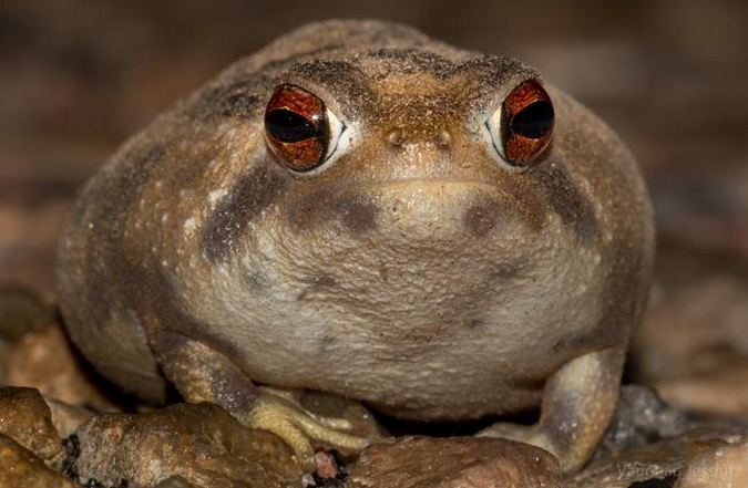 Bushveld rain frog, amphibian
