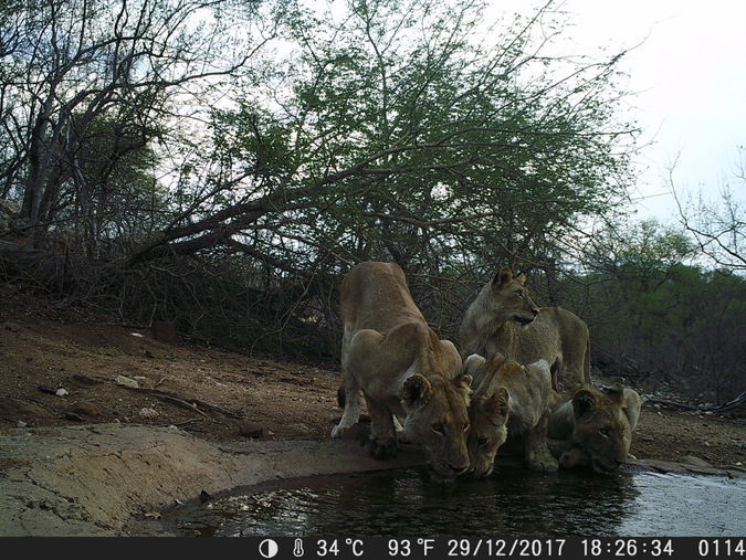 Camera trap of lioness and cubs drinking in Kruger, South Africa
