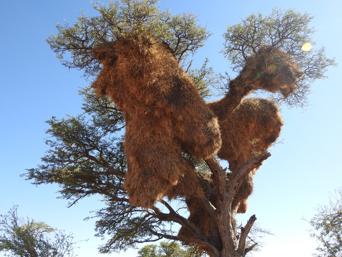 Large sociable weaver nest in a tree