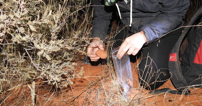 Researcher collecting ant samples for pangolin research in Kalahari