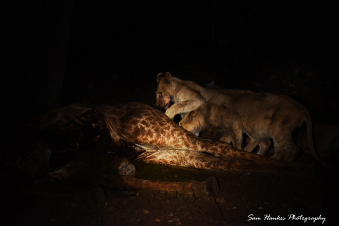 Two lion cubs eating giraffe carcass at night in Kruger, South Africa