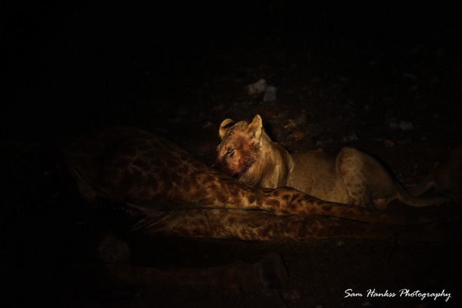 Lion feeding on giraffe carcass at night in Kruger, South Africa