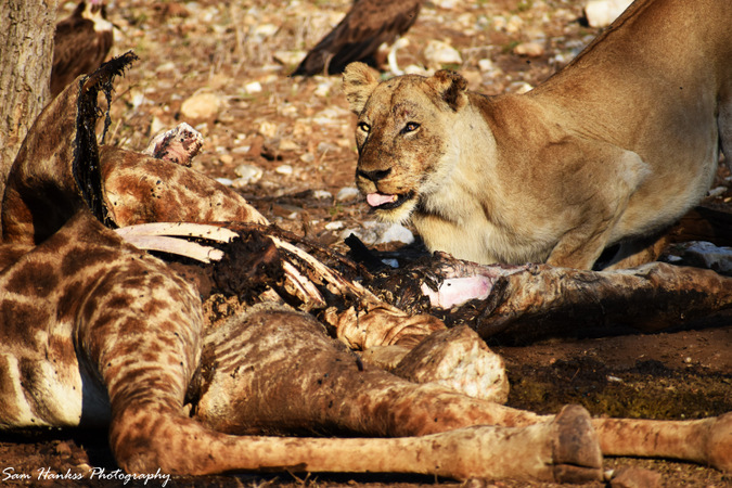 Lioness with giraffe kill in Kruger National Park, South Africa