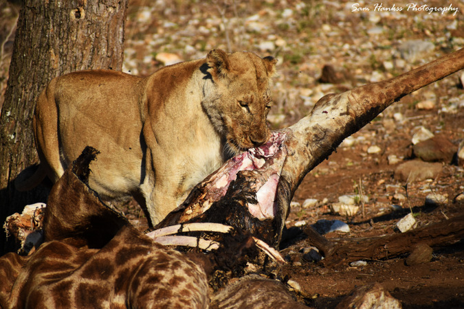 Lioness eating giraffe carcass in Kruger National Park, South Africa