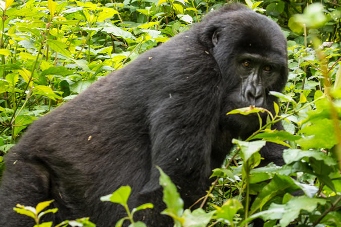 Gorilla in Bwindi Impenetrable Forest, Uganda