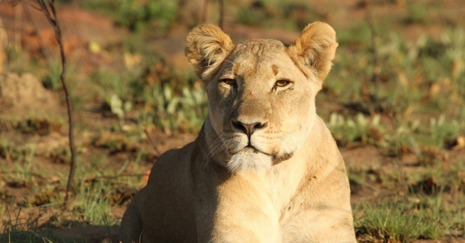Nala the lioness at Welgevonden Game Reserve in South Africa