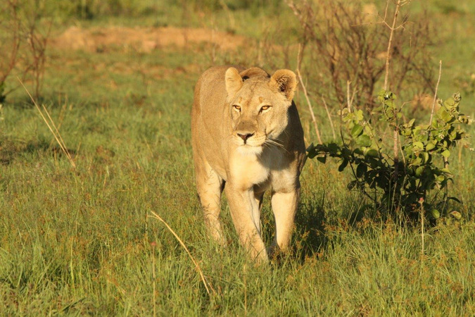 Nala the lioness walking through the grass at Welgevonden Game Reserve in South Africa
