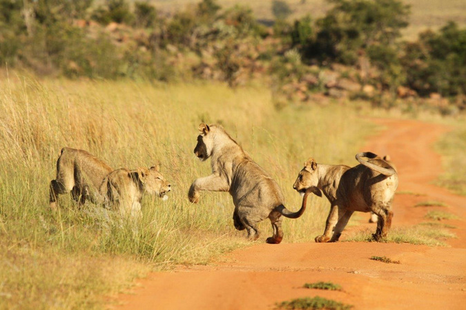 Nala's three cubs playing in Welgevonden Game Reserve in South Africa