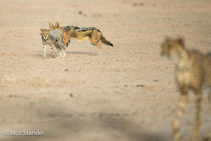 Cheetah cub and mother, with black-backed jackal in Kgalagadi Transfrontier Park, South Africa
