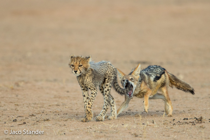 Black-backed jackal about to bite a cheetah cub's tail in Kgalagadi Transfrontier Park, South Africa