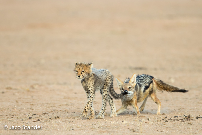 Black-backed jackal bites down on cheetah cub's tail in Kgalagadi Transfrontier Park, South Africa